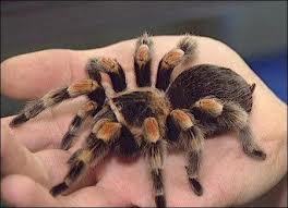 Tarantula Is Venomous