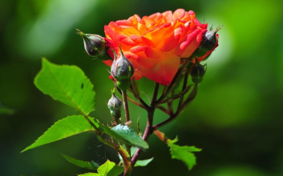 Roses Have Thorns, Beware!
